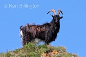 Goat (Capra aegagrus hircus) (7)