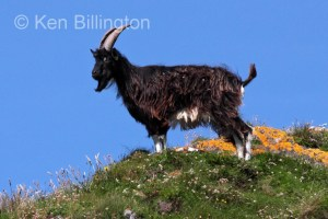 Goat (Capra aegagrus hircus) (8)