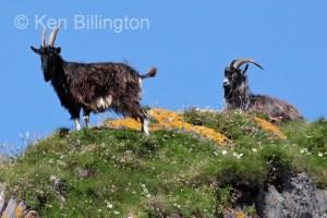 Goat (Capra aegagrus hircus) (9)