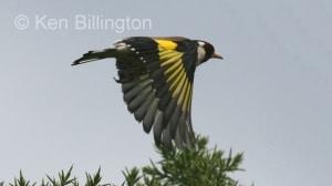 Goldfinch (Carduelis carduelis) (1)