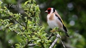 Goldfinch (Carduelis carduelis) (11)