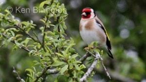 Goldfinch (Carduelis carduelis) (12)