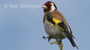 Goldfinch (Carduelis carduelis) (13)