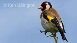 Goldfinch (Carduelis carduelis) (14)