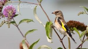 Goldfinch (Carduelis carduelis) (15)