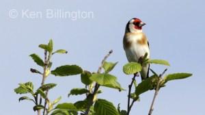 Goldfinch (Carduelis carduelis) (16)