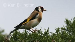 Goldfinch (Carduelis carduelis) (2)