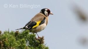 Goldfinch (Carduelis carduelis) (3)