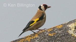 Goldfinch (Carduelis carduelis) (9)