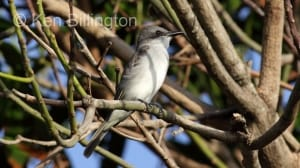 Gray Kingbird (Tyrannus dominicensis) (1)