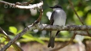 Gray Kingbird (Tyrannus dominicensis) (2)