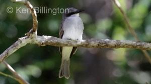 Gray Kingbird (Tyrannus dominicensis) (3)