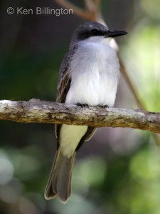 Gray Kingbird (Tyrannus dominicensis) (4)