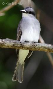 Gray Kingbird (Tyrannus dominicensis) (5)