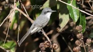 Grey Kingbird Tyrannus dominicensis