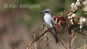 Gray Kingbird (Tyrannus dominicensis) (7)