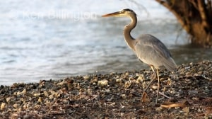 Great Blue Heron Ardea herodias