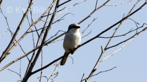 Great Grey Shrike (Lanius excubitor) (1)