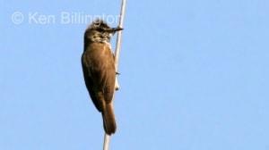 Great Reed Warbler (Acrocephalus arundinaceus) (1)