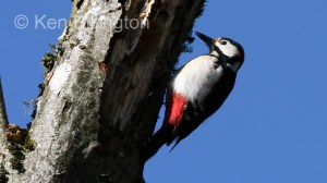 Great Spotted Woodpecker (Dendrocopos major) (10)