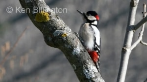 Great Spotted Woodpecker (Dendrocopos major) (2)