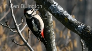 Great Spotted Woodpecker (Dendrocopos major) (3)