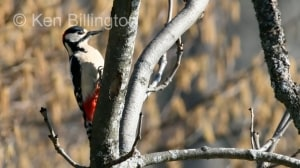 Great Spotted Woodpecker (Dendrocopos major) (4)