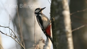 Great Spotted Woodpecker (Dendrocopos major) (6)