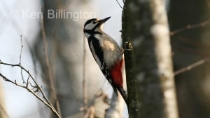 Great Spotted Woodpecker (Dendrocopos major) (7)