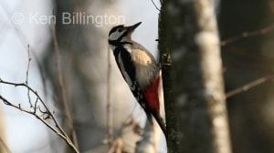 Great Spotted Woodpecker (Dendrocopos major) (8)