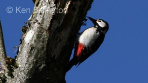 Great Spotted Woodpecker (Dendrocopos major) (9)