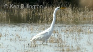 Great White Egret (Casmerodius albus) (10)