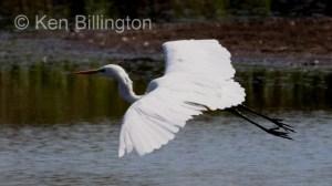Great White Egret (Casmerodius albus) (12)