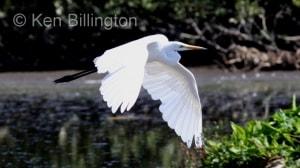 Great White Egret (Casmerodius albus) (13)