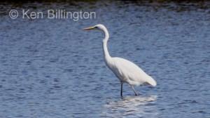 Great White Egret (Casmerodius albus) (14)