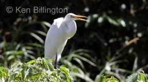 Great White Egret (Casmerodius albus) (16)