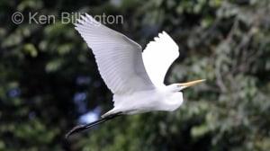 Great White Egret (Casmerodius albus) (18)