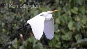 Great White Egret (Casmerodius albus) (19)