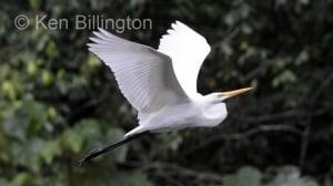 Great White Egret (Casmerodius albus) (20)