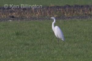 Great White Egret (Casmerodius albus) (25)