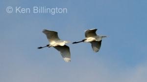 Great White Egret (Casmerodius albus) (6)