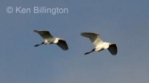 Great White Egret (Casmerodius albus) (7)