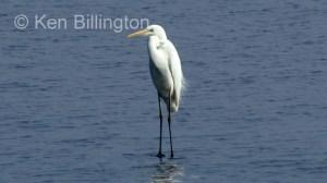 Great White Egret (Casmerodius albus) (9)