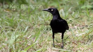 Greater Antillean Grackle (Quiscalus niger) (2)
