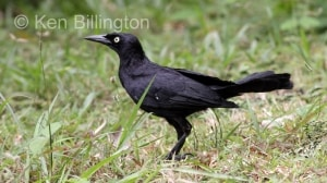 Greater Antillean Grackle (Quiscalus niger) (3)