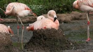 Greater Flamingo (Phoenicopterus roseus) (1)