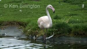 Greater Flamingo (Phoenicopterus roseus) (3)