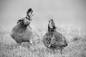 Greater Prairie-chicken Tympanuchus cupido