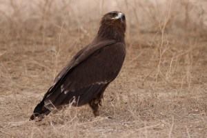 Greater Spotted Eagle (Aquila clanga)