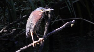 Green Heron (Butorides virescens) (10)